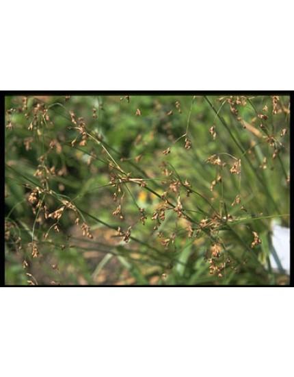 Luzula sylvatica 'Marginata'