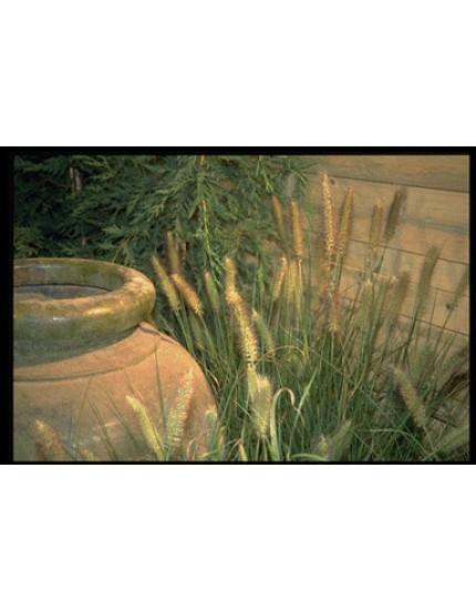 Pennisetum alopecuroides 'Cassian's Choice'