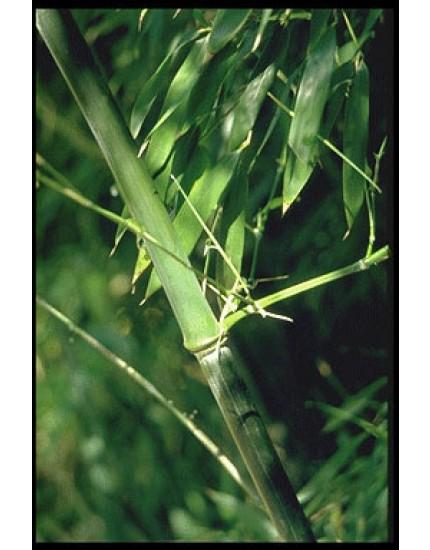 Phyllostachys nigra 'Henonis'
