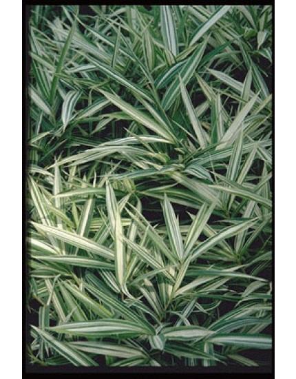 Pleioblastus variegatus