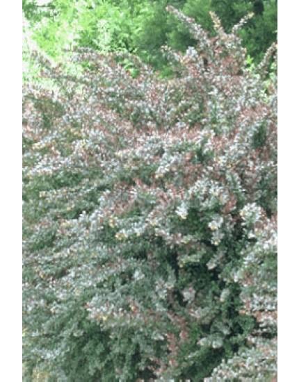 Berberis ottawensis 'Auricoma'