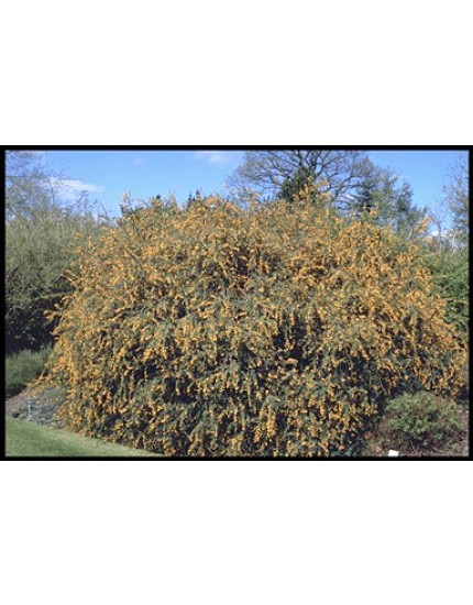 Berberis stenophyl. 'Crawley G