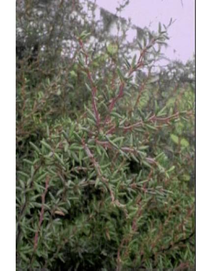 Berberis stenophylla