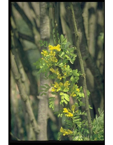 Caragana arborescens 'Lorbergi