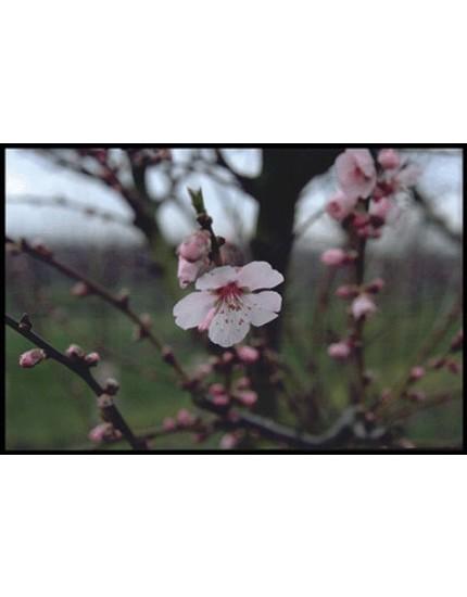 Prunus amygdalo-persica