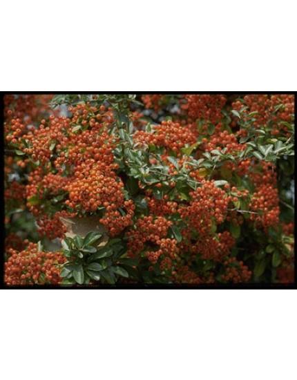 Pyracantha hybr. 'Orange Charmer'