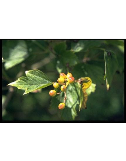 Viburnum opulus 'Compactum'
