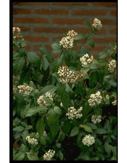 Viburnum tinus 'Purpureum'