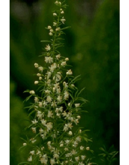 Asparagus densifl. 'Meyers'