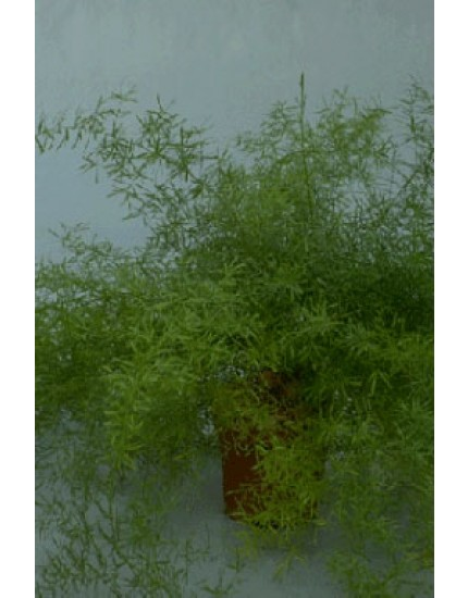 Asparagus densifl. 'Sprengeri'