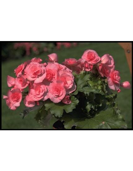 Begonia elatior-hybriden