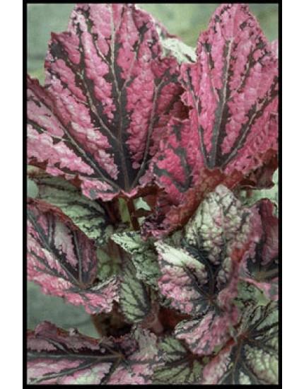 Begonia rex-hybriden