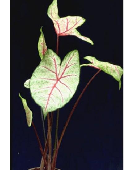 Caladium bicolor-hybriden