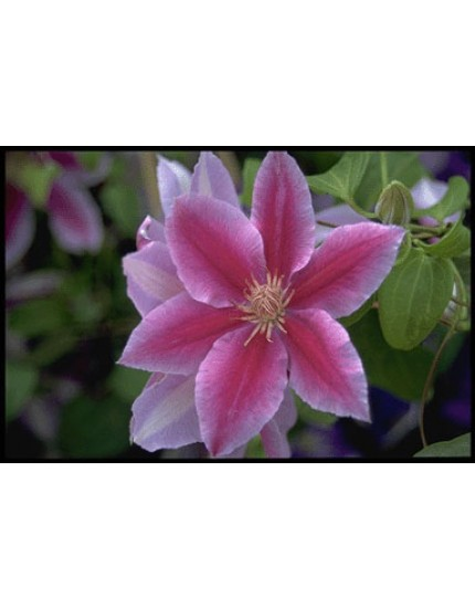 Clematis h. 'Dr. Ruppel'