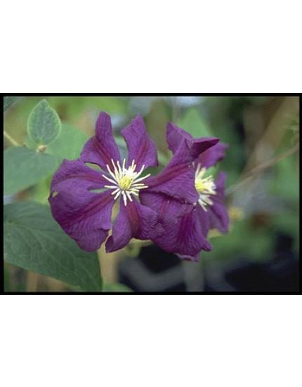Clematis h. 'Etoile Violette'