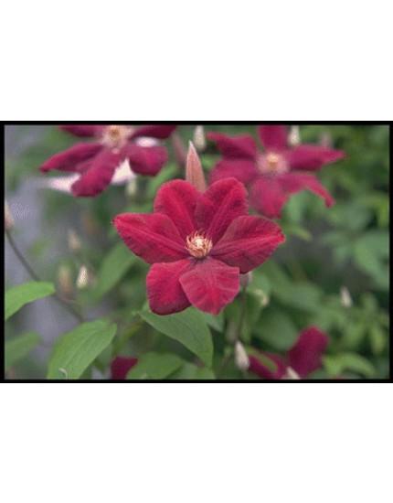 Clematis h. 'Rouge Cardinal'