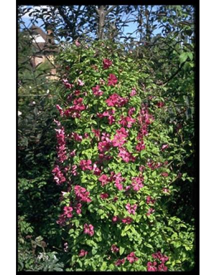 Clematis viticella 'Abundance'