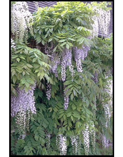 Wistera floribunda 'Macrobotrys'
