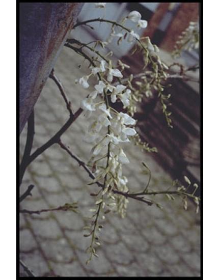 Wistera sinensis 'Alba'