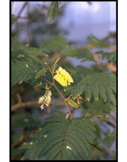 Albizia lophanta