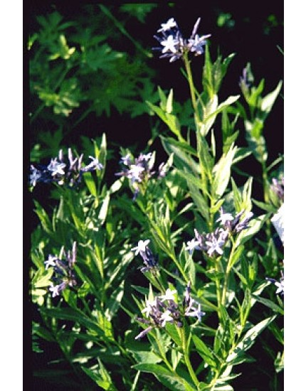 Ampelopsis orientalis