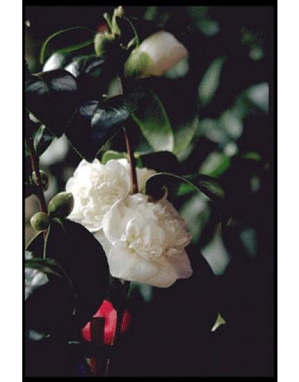 Camellia japonica 'Nobilissima
