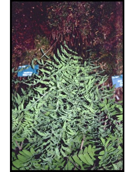 Thelypteris palustris