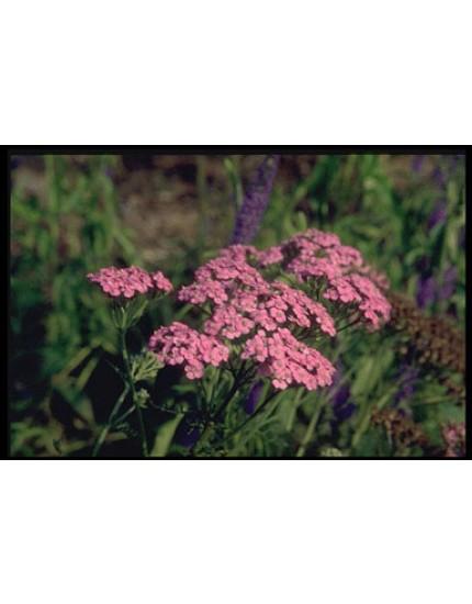 Achillea millef. 'Lilac Beauty'