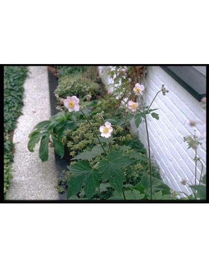 Anemone hupeh. 'September Charm'