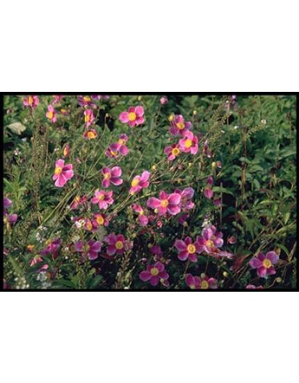 Anemone hybr. 'Hadspen Abundance'