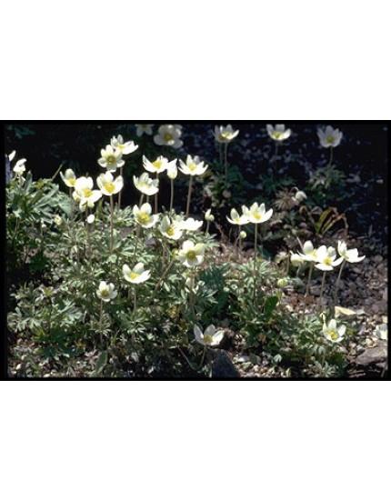 Anemone sylvestris