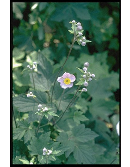 Anemone tomentosa 'Albadura'
