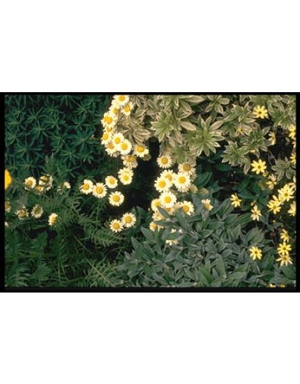 Anthemis hybrida 'E.C. Buxton'