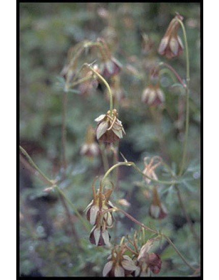 Aquilegia viridiflora