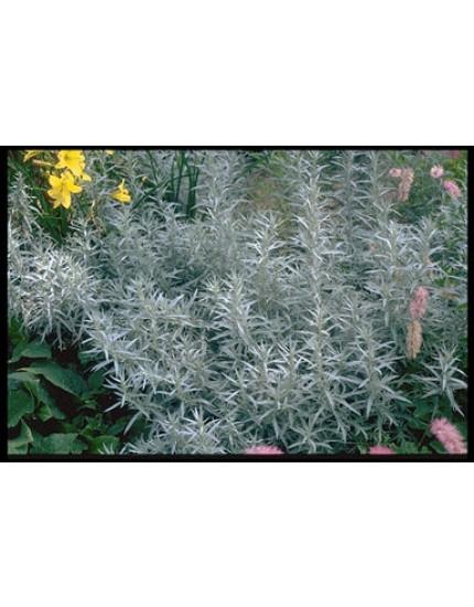 Artemisia ludoviciana albula 'Silver Queen