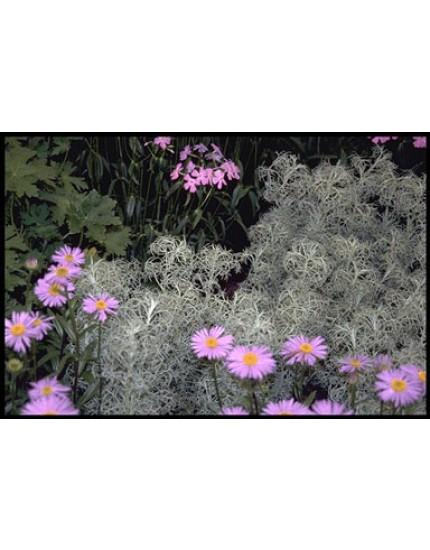 Artemisia canescens