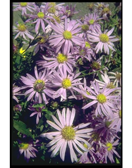 Aster amellus 'Dr. Otto Petsch