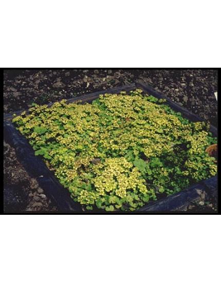 Chrysoplenium alternifolium