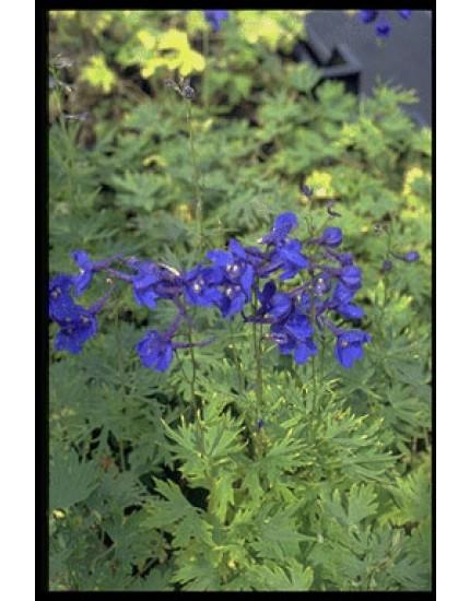 Delphinium bellamosum