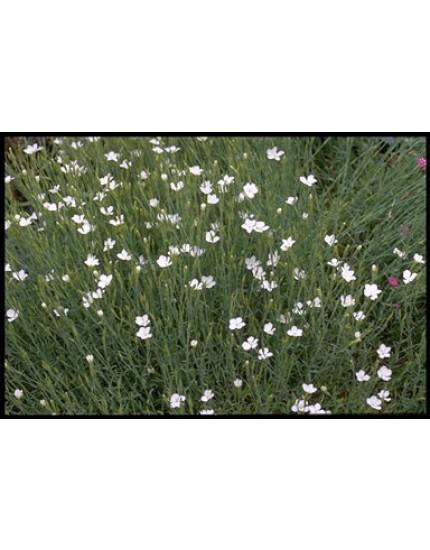 Dianthus delt. 'Albiflorus'