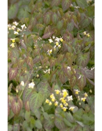 Epimedium versic. 'Sulphureum'