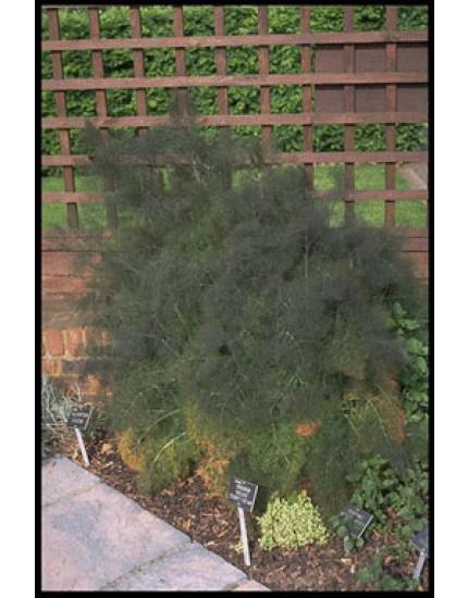 Foeniculum vulgare 'Purpurea'