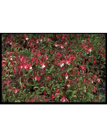 Fuchsia  'Mad. Cornelissen'