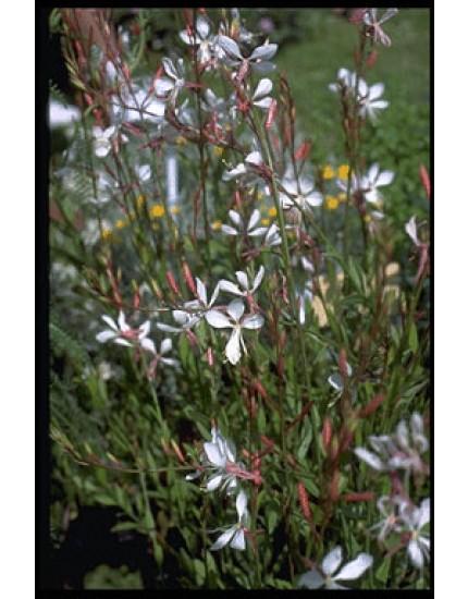 Gaura lindheimeri 'Whirling Butterflies'