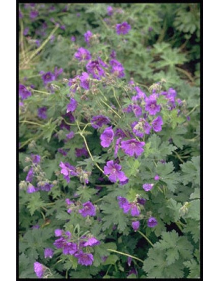 Geranium 'Johnson's Blue'