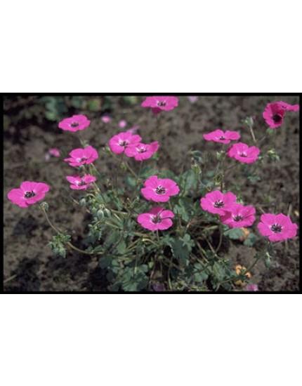 Geranium cinereum 'Splendens'