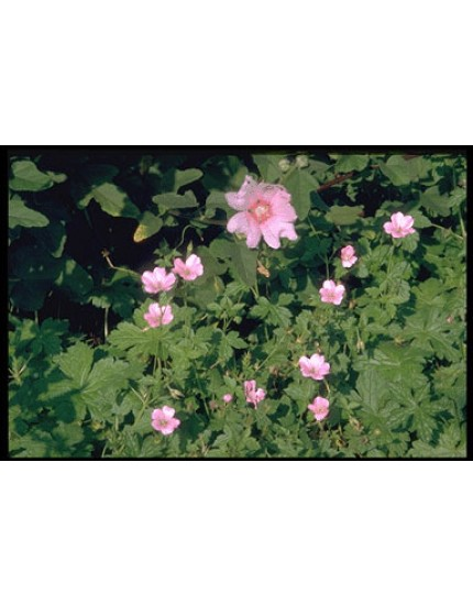 Geranium endr. 'Wargrave Pink'