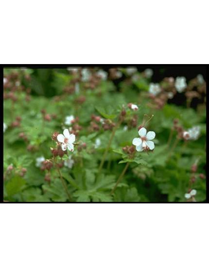 Geranium macrorrh. 'Album'