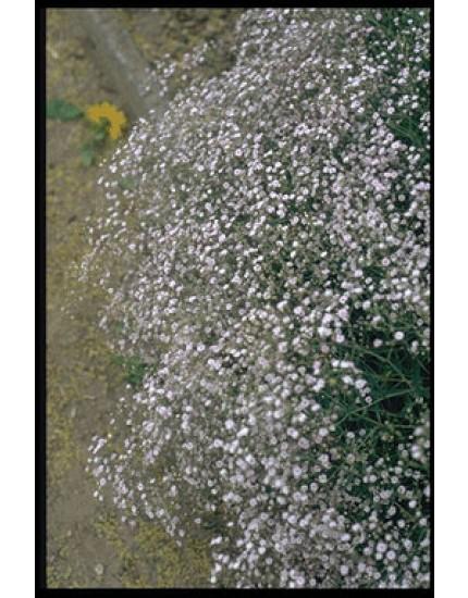 Gypsophila paniculata