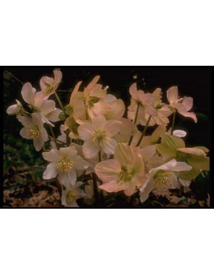 Helleborus niger